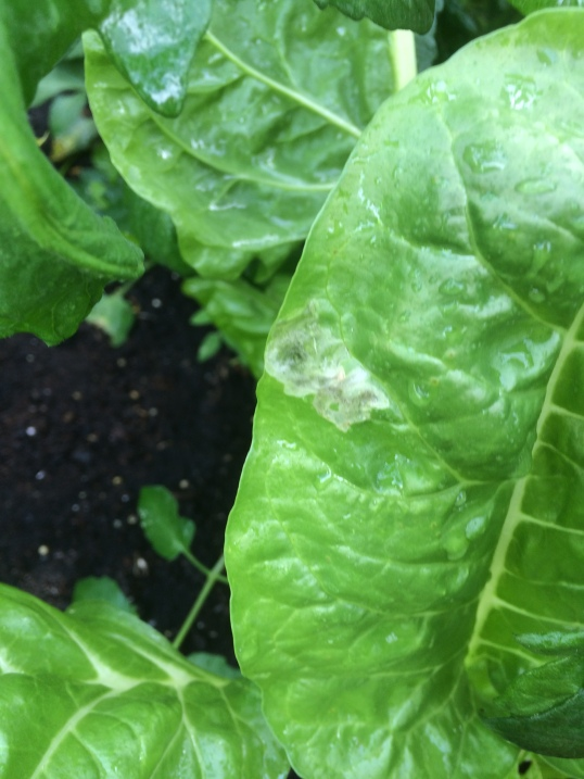 Harmless looking spot on your chard